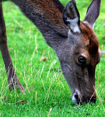 Close up of a Red Deer Hind